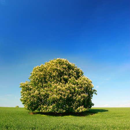 Chestnut Tree at Full Bloom at Green Field, Spring Landscape under Blue Sky Archivio Fotografico