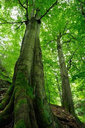 Tall Beech Trees in Spring, low angle shot