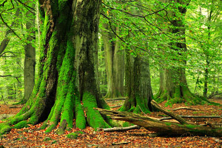 Mighty Old Beech Trees in Green Forest, Moss Covered Roots