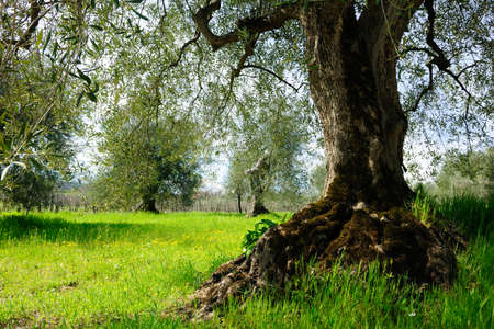 Ancient Olive Tree in Tuscany