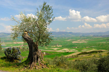 Ancient olive tree on hill in Tuscany landscape Banco de Imagens