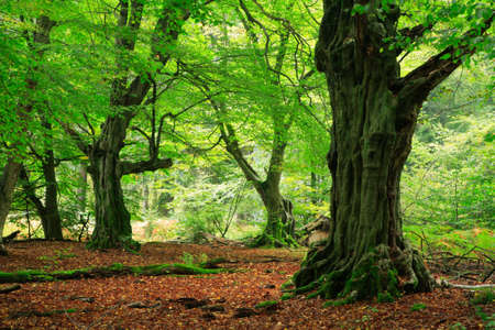 Mighty Old Hornbeam Trees at Green Forest, Moss Covered Roots Stock Photo