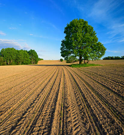 Oak Tree in Field, Sprouts of Winter Seeds breaking through the soil Stock Photo
