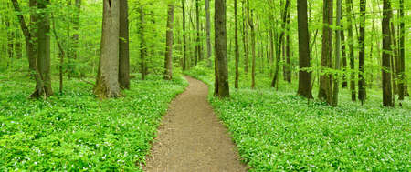 Footpath Winding through Springtime Forest, fresh green leaves, wood garlic in bloom Stock Photo