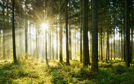 Spruce Tree Forest, Sunbeams through Morning Fog