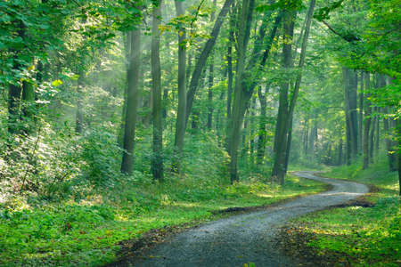 Winding Footpath Through Green Forest with Sunbeams Stock Photo