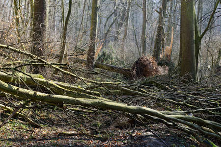 Uprooted trees after storm in the forest