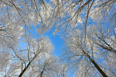 Forest of Snow Covered Beech Trees in Winter from below