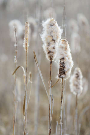 Cattails by a lake, seeds are dispersed by the wind, selective focus Stock Photo