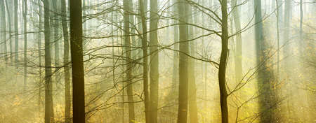 Atmospheric Forest of Beech Trees with Sunlight through Morning Fog