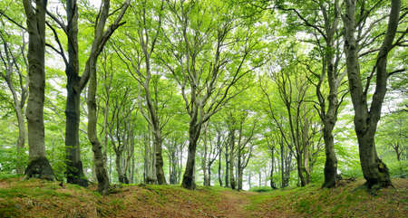 Natural Forest of Gnarled Beech Trees in Spring