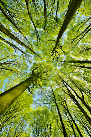 Forest of Tall Beech Trees at Early Spring, low angle shot, fresh green leaves