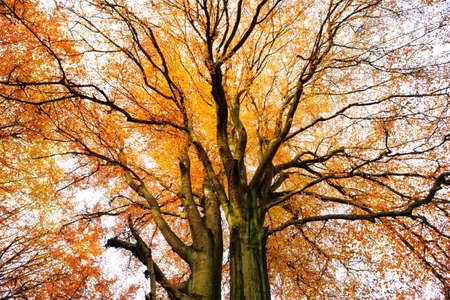 Old Beech Tree from below, full autumn foliage