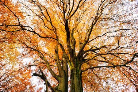 Stary buk od dołu, pełne jesienne liście