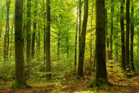 Sunny Forest of Beech Trees