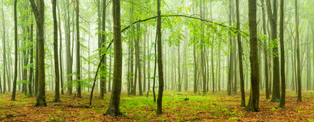 Beech forest panorama with rain and fog Banco de Imagens - 107719696