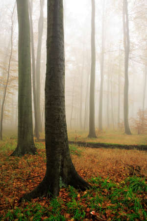 Beech Tree Forest in Autumn, Fog and Rain Banque d'images