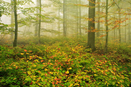 Foggy autumnal beech tree forest