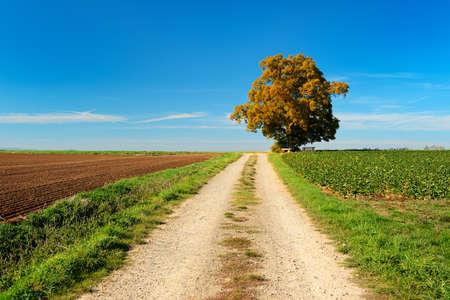 Farm track leading through Autumn Field towards Old Linden Tree under blue sky