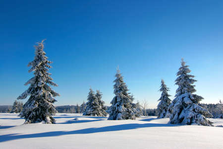 Wild untouched winter landscape with some fir tree trees covered by fresh snow under blue sky