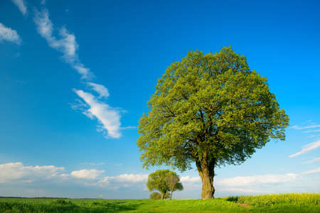 Old Linden Tree in Fields of Rapeseed and Wheat, Spring Landscape Under Blue Sky Banco de Imagens