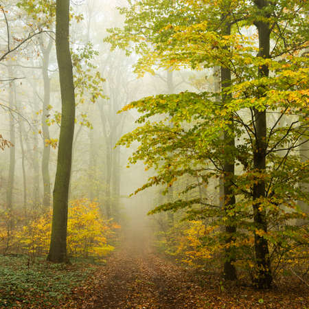 Footpath Through Forest of Beech Trees in Autumn, Dense Fog, Leaves Changing Color Archivio Fotografico