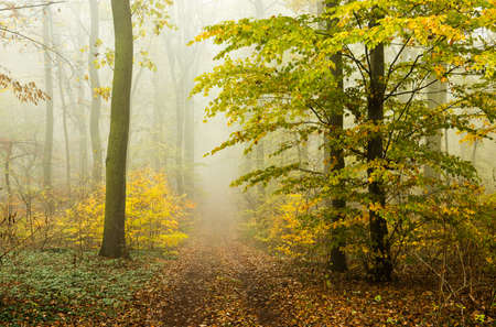 Footpath through Foggy Beech Tree Forest in Autumn, Leaves Changing Color