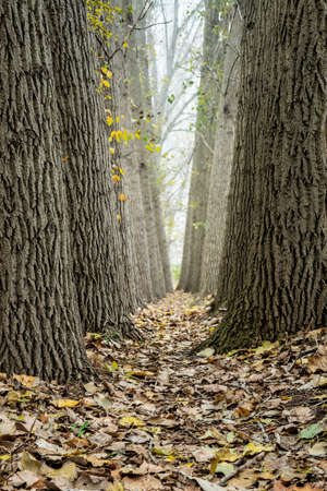 Narrow footpath though big poplar trees covered by fall leaves in autumn Stok Fotoğraf