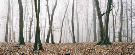 Panorama, Foggy Forest of Bare Trees in Autumn, faded color Stock Photo