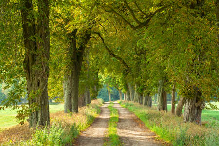 Farm Road Through Avenue Chestnut Trees Stock Photo