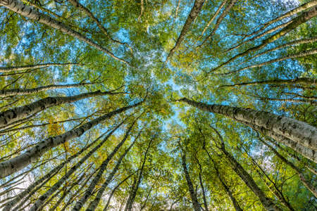 Forest of Birch trees from below Stock Photo