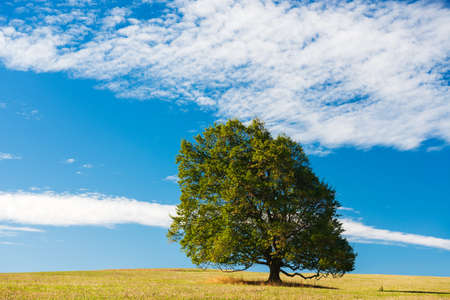 Meadow with Solitary Beech Tree Under Blue Sky in Summer Stock Photo