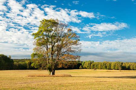 Maple Tree on Meadow in Autumn Landscape under blue sky Stock Photo