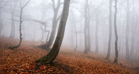 Foggy Forest of Gnarled Beech Trees in Autumn Stock Photo