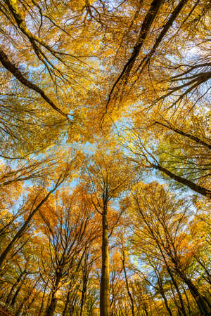Forest of Beech Trees in Autumn from below Stock Photo