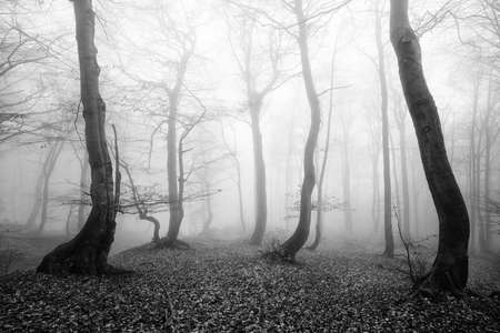 Foggy Forest of Spooky Trees in Autumn, Black and White