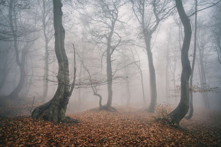 Foggy Forest of Gnarled Beech Trees in Autumn, faded color Stock Photo