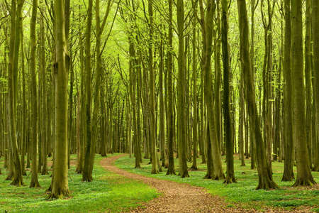 Beech Forest with Woods Anemones and Winding Footpath in Spring
