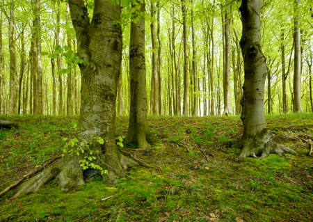 Green Forest with Old Beech Tree in Spring Stock Photo