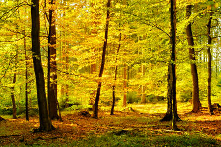 Autumn, Sunny Forest of Deciduous Trees, Leafs Changing Color