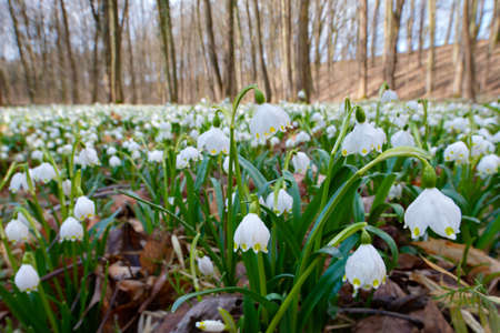 Forest in Spring, a carpet of spring snowflakes covering the forest floor, selective focus