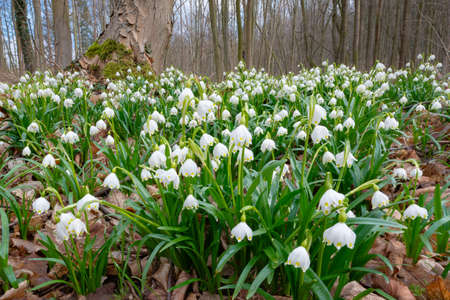 Carpet of Spring Snowflakes in Forest