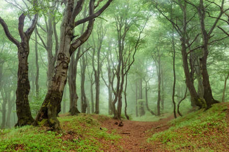 Foggy Natural Forest of Crooked Beech Trees in Spring
