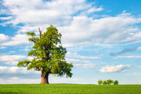 Mighty Oak Tree in Green Field under blue skies with clouds, Spring Landscape under Blue Sky