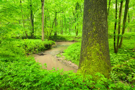 Stream meandering through natural green forest in spring