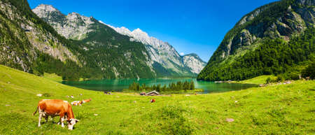 Idyllic Lake Koenigssee in the Bavarian Alps, Cattle grazing, Berchtesgaden, Bavaria, Germany