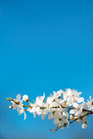 Background of twig with innocent white blossoms agains blue sky in spring