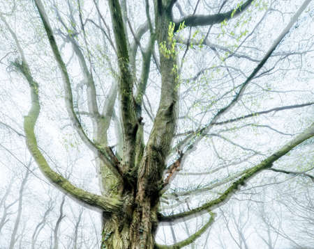 Old Beech Tree in forest with first delicate green leaves in spring, double exposure