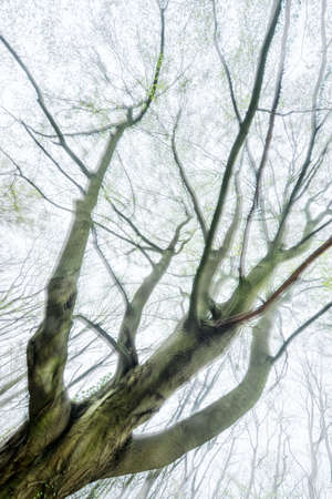 Double exposure of old beech tree in forest Stock fotó