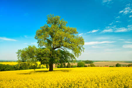 Oak Tree in Field of Oilseed Rape, Spring Landscape under Blue Sky